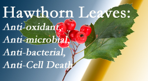 Manchester Chiropractic & Sports Injuries presents new research regarding the flavonoids of the hawthorn tree leaves' extract that are antioxidant, antibacterial, antimicrobial and anti-cell death.